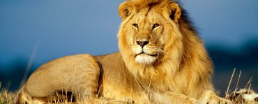 Lion Steals a GoPro from Wildlife Photographer